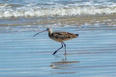 Long-billed Curlew. (Jacque & John) Tags: birdswatching bird birds coastalbirds padreislandnationalseashore longbilledcurlew