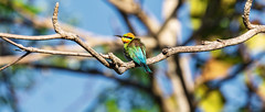 Rainbow Bee-eater (Merops Ornatus) (Arturo Nahum) Tags: arturonahum rainbowbeeeater meropsornatus queensland cairns australia birdwatcher bird animal wildflife naturephotography