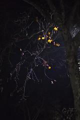 20200102-164804_83c5b27f06d3c4e4c5b6ce1ec914c4c4f0173b4d5628fe66ac2458e16c5e4c9a-56ad4696df27af00ffc1beac451a35c2_1080 (velenux) Tags: pesaro albero tree natura nature night notte foglie leaves rami branches