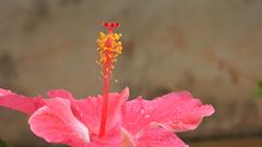 Hibiscus (sileneandrade10) Tags: sileneandrade hibiscus hibiscussabdariffa flor vermelho rosa natureza nature nikoncoolpixp1000 macro nikoncorporationcoolpixp1000 pink