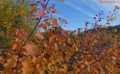 la coulée verte en automne (Carpentras - Vaucluse - 30 novembre 2019) (Carnets d'un observateur de la nature du Sud de la) Tags: couléeverte carpentras vaucluse provence automne plante nature