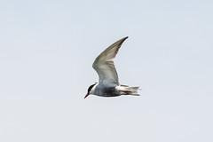 Tern 1 (frozenpuddle) Tags: westerntreatmentplant tern victoria australia