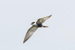Tern 2 (frozenpuddle) Tags: westerntreatmentplant tern victoria australia