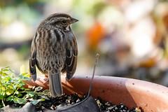 Song Sparrow (LouisvilleCardinal) Tags: mlwright songsparrow sparrow