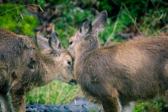 deer snuggles (kevin.boyd) Tags: deer animal wildlife fauna mammal pair family victoria bc canada pacificnorthwest winter outside nature green