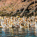 2019 - Vietnam-Avalon-Châu Đốc - 14 - Vinh Te Canal Goose Farm
