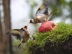 Fight - goldfinches (susie2778) Tags: dcg9 panasonic lillianshide bird goldfinch