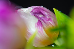 Tulips and water drops (Martin Bärtges) Tags: tropfen wasser drops water makrofotografie makro makroliebhaber macrophotography macrolovers macro grün weis rose pink green white deutschland germany natur naturfotografie naturliebhaber naturelovers naturephotography nature spiegelreflexkamera nikonphotography nikonfotografie d4 nikon flashlight blitz blitzanlage flash studiofotografie studiophotography studio drin pflanzen plants tulpen tulips farbenfroh colorful blumenstraus blumen flowers
