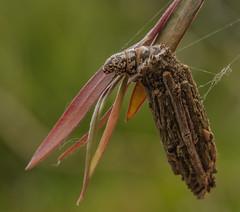 Case moth caterpillar (m&em2009) Tags: case moth caterpillar insect sticks macro close up nature nikon d7000 lens 60mm