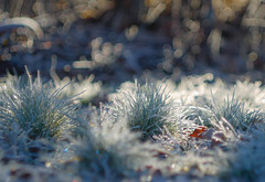 The tree Graces (cнαт-ɴoιr^^) Tags: 1330945 flora gras frost raureif hoarfrost bokeh blätter leaves vintagelens 85mm 15 openaperture sonne sun nature outside winter