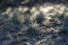 WinterLicht (cнαт-ɴoιr^^) Tags: 1330943 winter nature flora frost gras hoarfrost raureif bokeh bokehlicious panasonicg1 vintagelens chatnoir