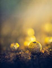 Golden beads (Ro Cafe) Tags: smileonsaturday nikkor105mmf28 sonya7iii beads macro textured bokeh golden