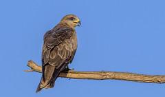 a black kite (Fat Burns ☮) Tags: blackkite milvusmigrans kite raptor bird australianbird fauna australianfauna hawk nikond500 barcaldinerefusetip barcaldine queensland nikonafs200500mmf56eedvr australia wildlife australianwildlife