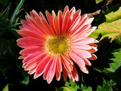 Gerbera Daisy (Madonovan) Tags: gerberadaisy peach january 2020
