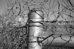 Welded Post (Gene Ellison) Tags: pipe post fence silver barbedwire vines winter light shadow blackwhitephotos bw fujifilm acrosy