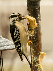 Time to Chow Down! (114berg) Tags: 11jan20 downy woodpecker bark butter feeder geneseo illinois