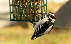 Just Hanging Around (114berg) Tags: 11jan20 male downy woodpecker suet feeder geneseo illinois