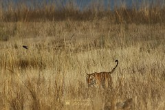 Tigress, Corbett Tiger Reserve (Chandrasekhar Bhattacharya) Tags: tiger tigerreserve wild wildlife corbetttigerreserve jimcorbetttigerreserve tigerinthewild uttarakhand conservation