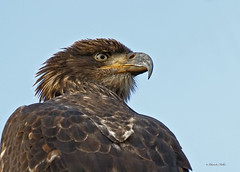 Immature Bald Eagle Portrait (ChasingNature) Tags: portrait closeup immature baldeagle bird raptor day vancouverislandraptors