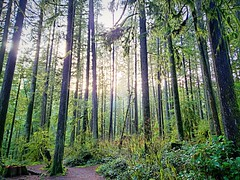 The sun illuminates the dark forest (walneylad) Tags: capilanoriverregionalpark northvancouver britishcolumbia canada park parkland urbanpark woods woodland forest rainforest urbanforest trees evergreen trail ferns moss sun light green brown afternoon january winter nature scenery view