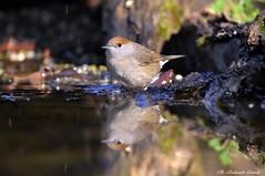 Capinera _008 (Rolando CRINITI) Tags: capinera uccelli uccello birds ornitologia avifauna castellettomerli natura