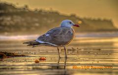 Golden Bird (Michael F. Nyiri) Tags: seagull bird sunset seabird golden sand redondobeach california southerncalifornia pacificocean