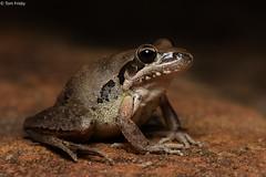 Litoria latopalmata (Broad-palmed Rocket Frog) (Tom Frisby) Tags: frog frogs amphibian amphibians australia herpetology photography