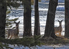 Deer by the water on Drummond Island (Corvair Owner) Tags: drummond island michigan mich mi winter snow animals landscape scenery road january 2020 snowy woods forest bass cove water bay ice deer herd does faun fawn