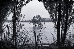 That Tree (hotpotato70) Tags: southisland newzealand canon 90d december lightroom monochrome blackwhite silverefexpro2 thattree wanaka tree lake water rain flooding bushes shore
