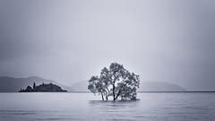 Wanaka Tree (hotpotato70) Tags: southisland newzealand canon 90d december lightroom monochrome blackwhite silverefexpro2 thattree wanaka tree lake water rain flooding island