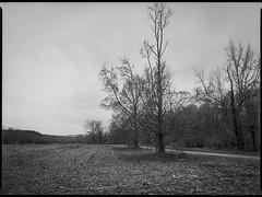 winter landscape, barren field, dirt roadway, near dusk, Biltmore Estate, Asheville, NC, Mamiya 645 Pro, Kodak Tri-X 400, Moersch Eco film developer, 1.10.19 (steve aimone) Tags: winterlandscape field dirtroad barren talltree neardusk biltmoreestate asheville northcarolina mamiya645pro mamiyasekor80mmf28 mamiyaprime primelens 120 120film film 645 mediumformat monochrome monochromatic blackandwhite kodaktrix400 moerschecofilmdeveloper