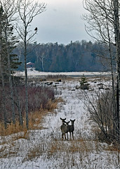 Deer on Drummond Island (Corvair Owner) Tags: drummond island michigan mich mi winter snow animals landscape scenery road january 2020 snowy woods forest bass cove water bay ice deer herd does faun fawn
