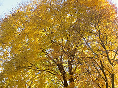That Golden Glow (bigbrowneyez) Tags: tree branches nature natura leaves glow gold golden bright striking stunning fresh glowing massive huge precious lovely bello bellissimo albero amazing autumn fall yellow oro ottawa thatgoldenglow fabulous pretty sunny sun sole canada fantastic foglie