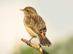 (juvenile) African stonechat (Pixi2011) Tags: birds rietvleinaturereserve southafrica africa wildbirds nature