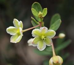 False Boronia (philipbouchard) Tags: phyllanthus falseboronia phyllanthuscalycinus phyllanthaceae flower wildflower greenish australia westernaustralia stirlingrange nationalpark albany