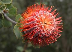 Scarlet Banksia (philipbouchard) Tags: banksia scarletbanksia banksiacoccinea proteaceae shrub flower wildflower orange red australia westernaustralia stirlingrange nationalpark albany