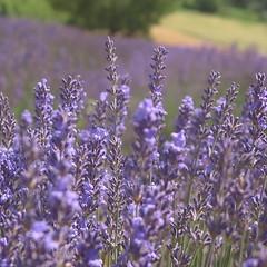 Lavanda (v_leardi) Tags: lavanda lavender flowers flowersfield flowerpics