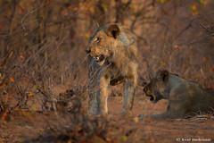 Thirsty Lioness (leendert3) Tags: leonmolenaar southafrica krugernationalpark wildlife wilderness wildanimal nature naturereserve naturalhabitat mammal africanlion ngc npc coth coth5