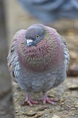 Pigeon at the park (JSB PHOTOGRAPHS) Tags: nd38125 pigeon park altonbakerpark eugeneoregon bokehlicious bokeh nikon af nikkor 300mm f4 ifed d3