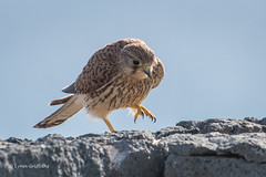 Kestrel - Thats hot! 502_3003.jpg (Mobile Lynn) Tags: birds birdsofprey kestrel nature bird fauna wildlife yaiza canaryislands spain coth specanimal coth5 ngc npc