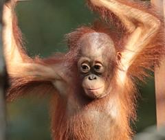 borneo orangutan Indah Apenheul BB2A1152 (j.a.kok) Tags: animal aap asia azie ape borneoorangutan borneoorangoetan borneo mammal monkey mensaap orangutan orangoetan orang primate primaat zoogdier dier apenheul indah
