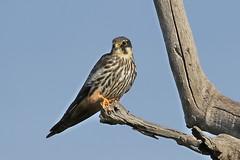 Eurasian Hobby (Falco subbuteo) Vagrant (johnedmond) Tags: perth northlake beelairwetlands westernaustralia raptor birdofprey hobby bird nature wildlife eos7d ef100400mmf4556lisiiusm eos canon