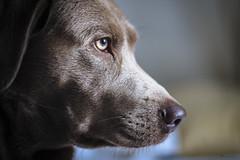 Carl °003/100 (donlunzo16) Tags: dog labrador silverlabrador waiting home stuttgart 0711 nikon nikondf df 58mm nikkor f14 color lightroom raw preset vignette pack nd filter donlunzo16 100xthe2020edition 100x2020 image3100