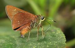 Decinea dama (Over 6 million views!) Tags: butterfly decineadama ecuador hesperiidae butterflies insect