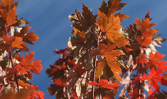 in the breeze (Johnson Cameraface) Tags: 2019 october autumn olympus omde1 em1 micro43 mzuiko 60mm macro f28 johnsoncameraface tree leaves colour unseen2019