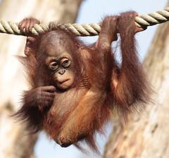 borneo orangutan Indah Apenheul BB2A1279 (j.a.kok) Tags: animal aap asia azie ape borneoorangutan borneoorangoetan borneo mammal monkey mensaap orangutan orangoetan orang primate primaat zoogdier dier apenheul indah