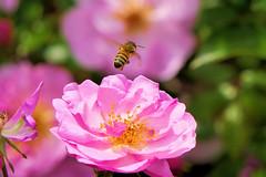 P1010639 (alainazer) Tags: marseille provence france fiori fleurs flowers colori colors couleurs abeille bee insecte animal