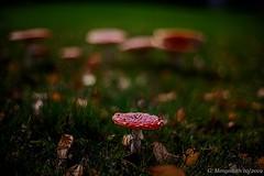 Aussenseiter (günter mengedoth) Tags: carlzeissplanart50mmf14zk carl zeiss planar t 50 mm f 14 zk pentaxk1 pentax pk manuell bokeh pilze herbst autumn