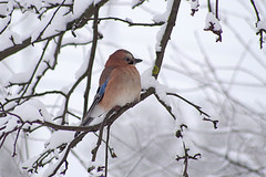IMGP3513 (PahaKoz) Tags: зима природа сад птица сойка снег winter nature garden bird jay snow