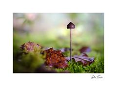 Glimpse of Nature (g.femenias) Tags: mushroom fungus moss leaves waterdroplets bokeh nature naturallight sunlight macro macrophotography stackfocusing pinardenroca bonany petra mallorca